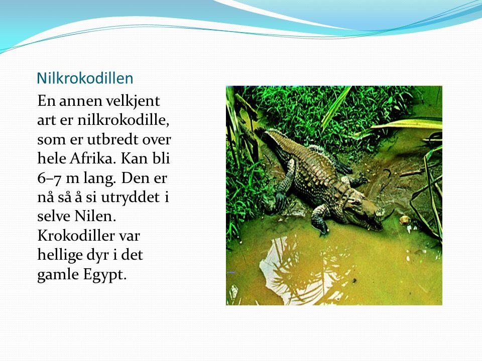 Nilkrokodillen En annen velkjent art er nilkrokodille, som er utbredt over hele Afrika. Kan bli 6–7 m lang. Den er nå så å si utryddet i selve Nilen.