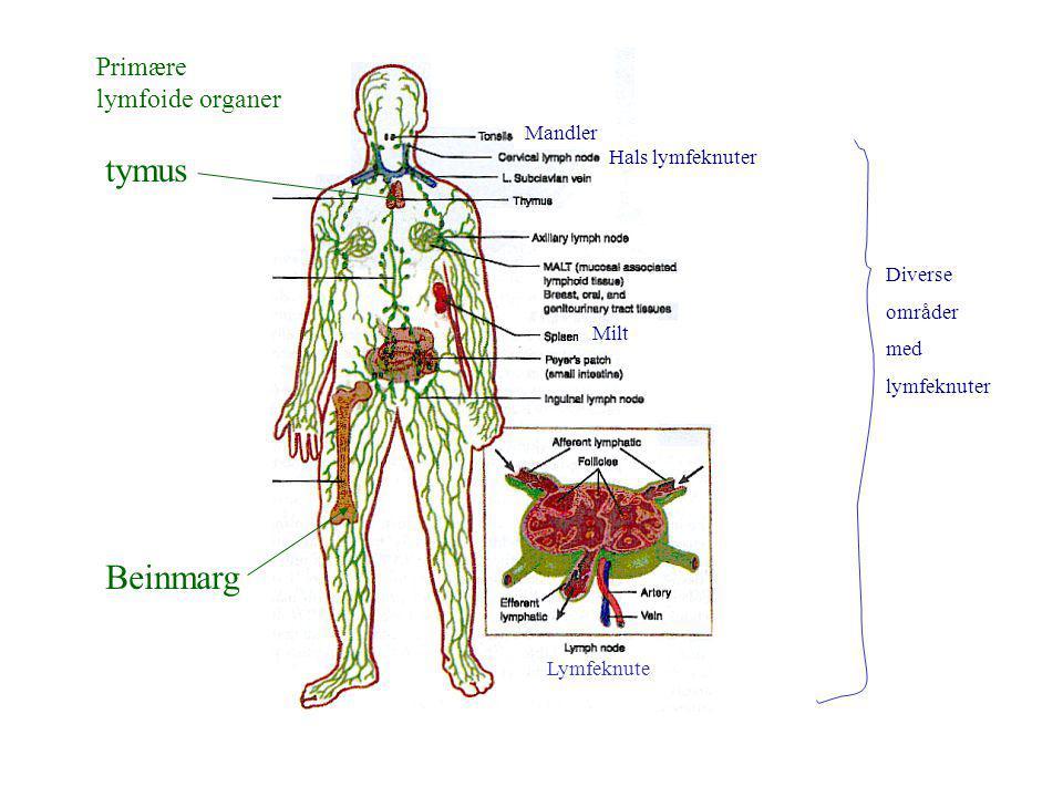 Primære lymfoide organer tymus Beinmarg Mandler Hals lymfeknuter Milt Diverse områder med lymfeknuter Lymfeknute