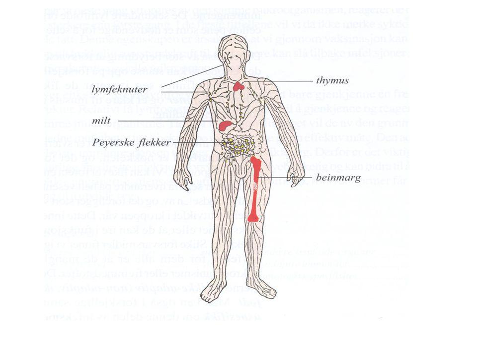 Tilledende lymfeårer Lymfeknute Arterie inn Vene ut B lymfocytter T lymfocytter