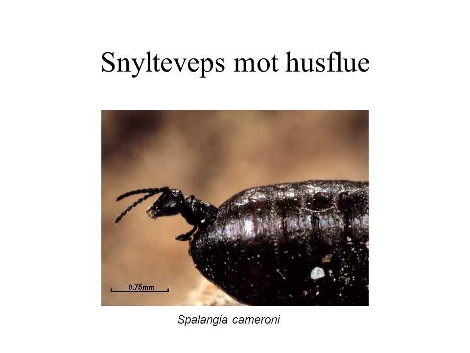 Snylteveps mot husflue Spalangia cameroni