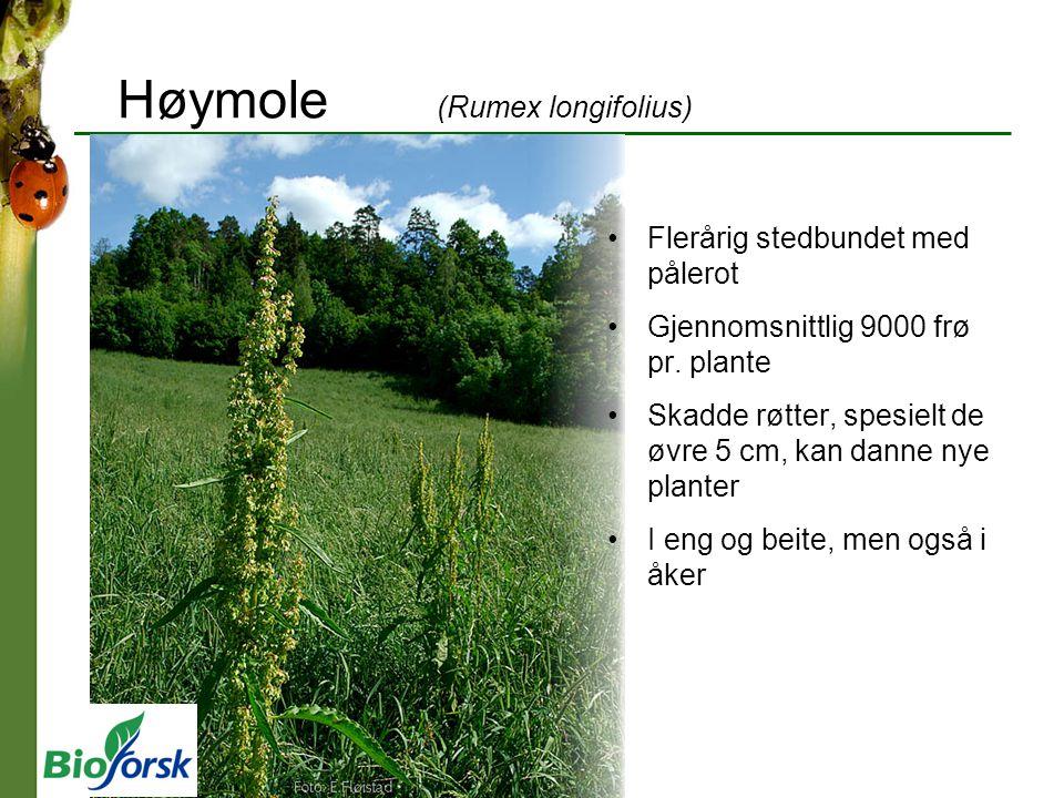 Høymole (Rumex longifolius) Flerårig stedbundet med pålerot Gjennomsnittlig 9000 frø pr. plante Skadde røtter, spesielt de øvre 5 cm, kan danne nye pl