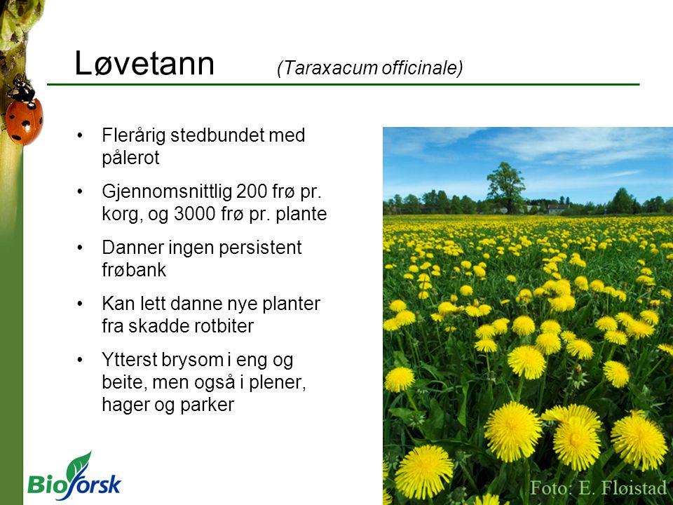 Løvetann (Taraxacum officinale) Flerårig stedbundet med pålerot Gjennomsnittlig 200 frø pr. korg, og 3000 frø pr. plante Danner ingen persistent frøba
