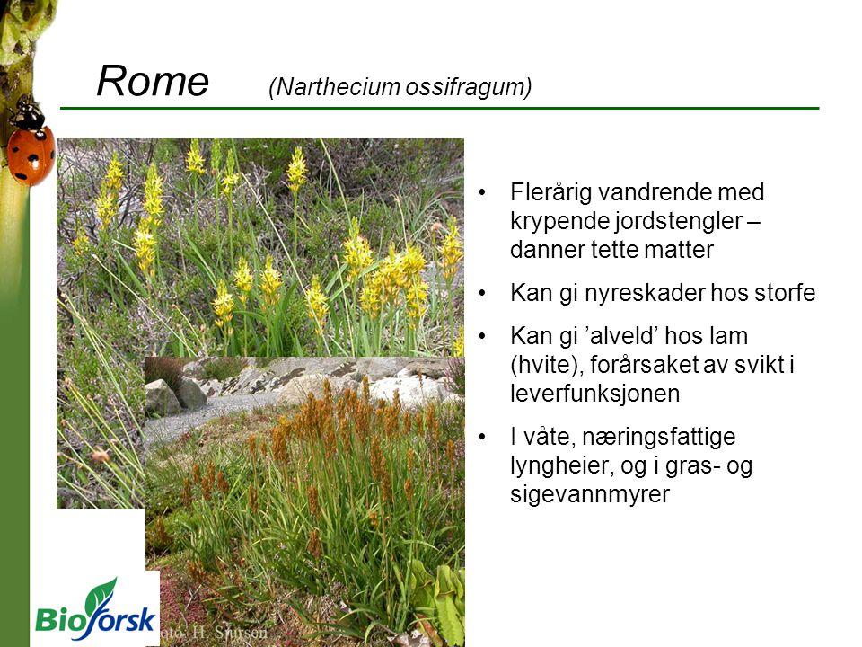 Rome (Narthecium ossifragum) Flerårig vandrende med krypende jordstengler – danner tette matter Kan gi nyreskader hos storfe Kan gi 'alveld' hos lam (