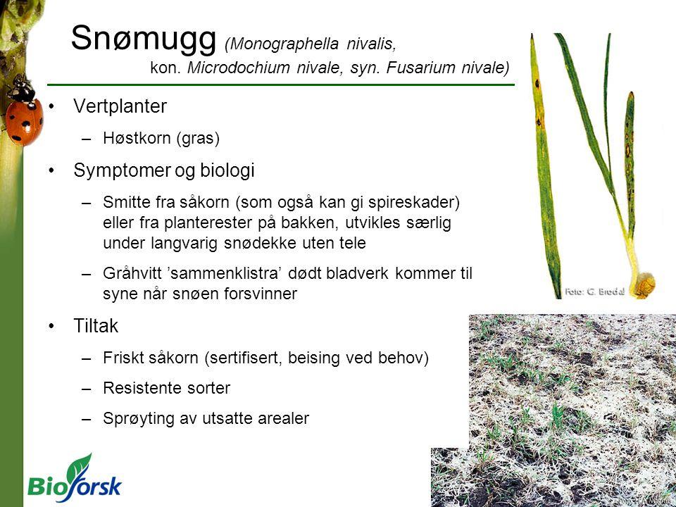 Snømugg (Monographella nivalis, kon. Microdochium nivale, syn. Fusarium nivale) Vertplanter –Høstkorn (gras) Symptomer og biologi –Smitte fra såkorn (