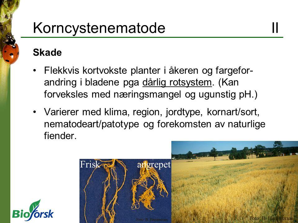 Korncystenematode II Skade Flekkvis kortvokste planter i åkeren og fargefor- andring i bladene pga dårlig rotsystem. (Kan forveksles med næringsmangel