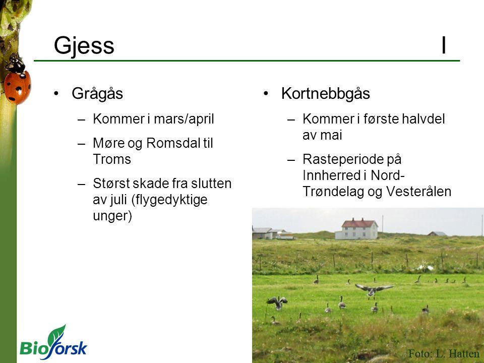 GjessI Grågås –Kommer i mars/april –Møre og Romsdal til Troms –Størst skade fra slutten av juli (flygedyktige unger) Kortnebbgås –Kommer i første halv