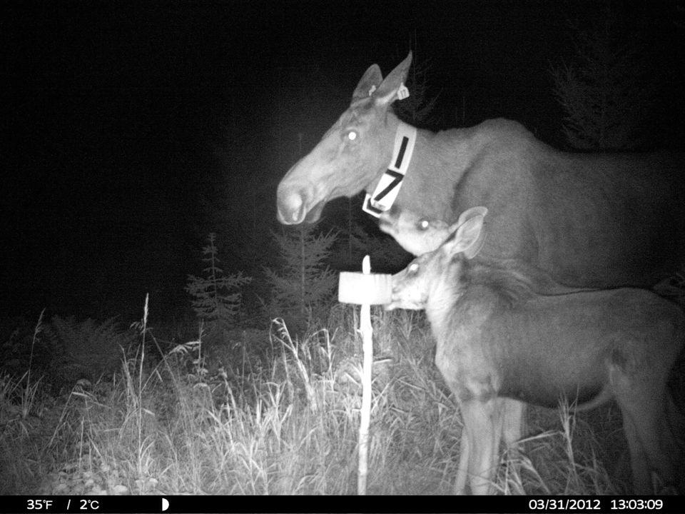 Radiomerka elg