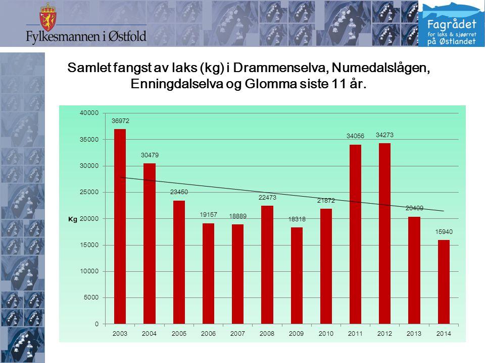 Samlet fangst av laks (kg) i Drammenselva, Numedalslågen, Enningdalselva og Glomma siste 11 år.