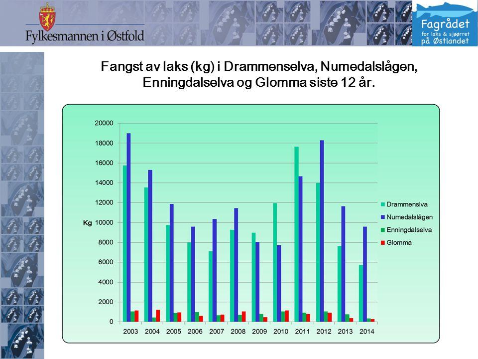 Fangst av laks (kg) i Drammenselva, Numedalslågen, Enningdalselva og Glomma siste 12 år.