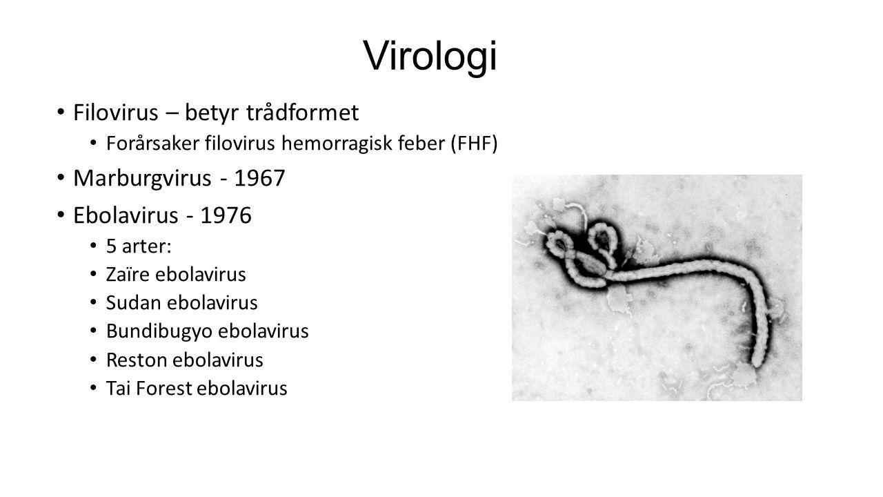 Virologi Filovirus – betyr trådformet Forårsaker filovirus hemorragisk feber (FHF) Marburgvirus - 1967 Ebolavirus - 1976 5 arter: Zaïre ebolavirus Sud