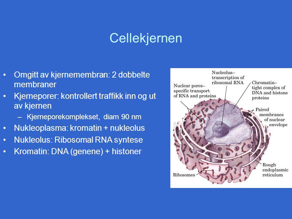 Cellekjernen Omgitt av kjernemembran: 2 dobbelte membraner Kjerneporer: kontrollert traffikk inn og ut av kjernen –Kjerneporekomplekset, diam 90 nm Nukleoplasma: kromatin + nukleolus Nukleolus: Ribosomal RNA syntese Kromatin: DNA (genene) + histoner