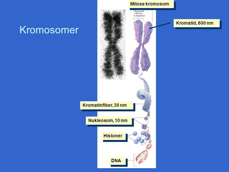 Kromosomer Mitose kromosom Kromatid, 600 nm Kromatinfiber, 30 nm Nukleosom, 10 nm Histoner DNA
