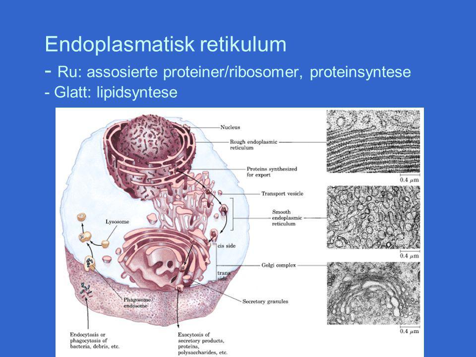 Endoplasmatisk retikulum - Ru: assosierte proteiner/ribosomer, proteinsyntese - Glatt: lipidsyntese