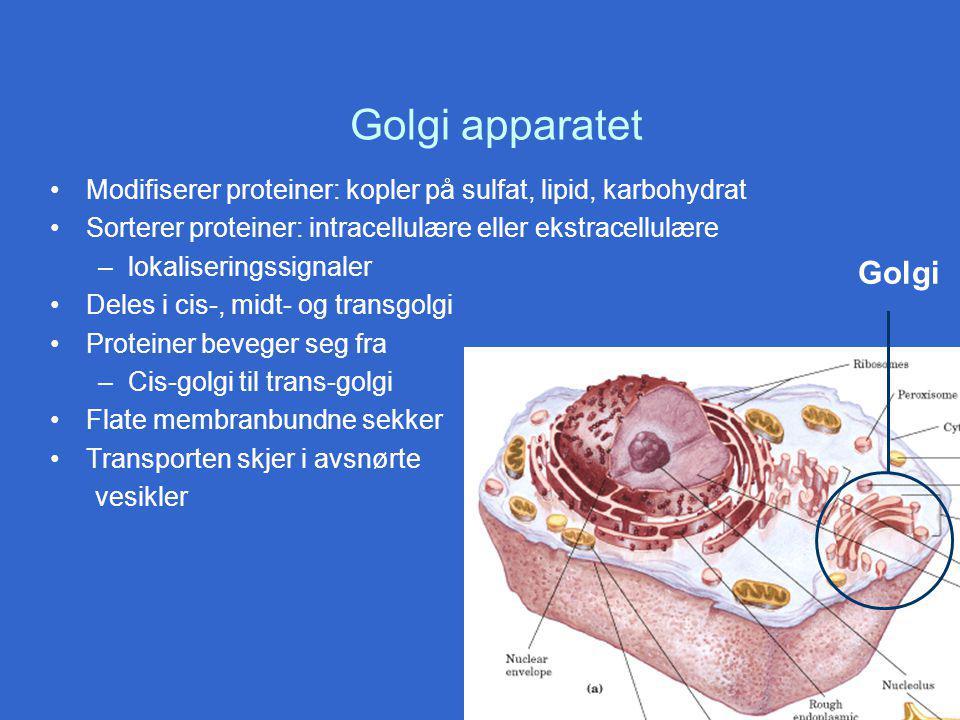 Golgi apparatet Modifiserer proteiner: kopler på sulfat, lipid, karbohydrat Sorterer proteiner: intracellulære eller ekstracellulære –lokaliseringssignaler Deles i cis-, midt- og transgolgi Proteiner beveger seg fra –Cis-golgi til trans-golgi Flate membranbundne sekker Transporten skjer i avsnørte vesikler Golgi