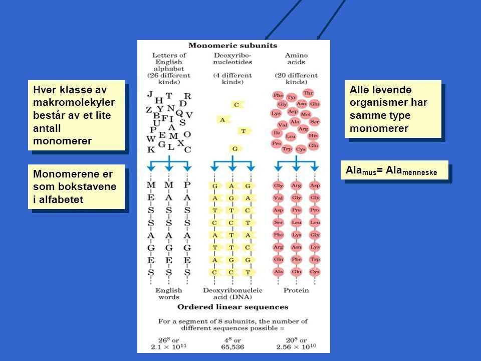 Hver klasse av makromolekyler består av et lite antall monomerer Monomerene er som bokstavene i alfabetet Alle levende organismer har samme type monomerer Ala mus = Ala menneske Figur 1-3