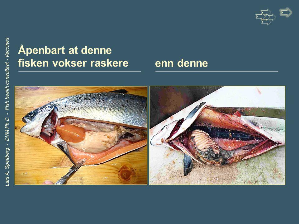 Lars A. Speilberg - DVM Ph.D - Fish health consultant - Vaccines Åpenbart at denne fisken vokser raskereenn denne