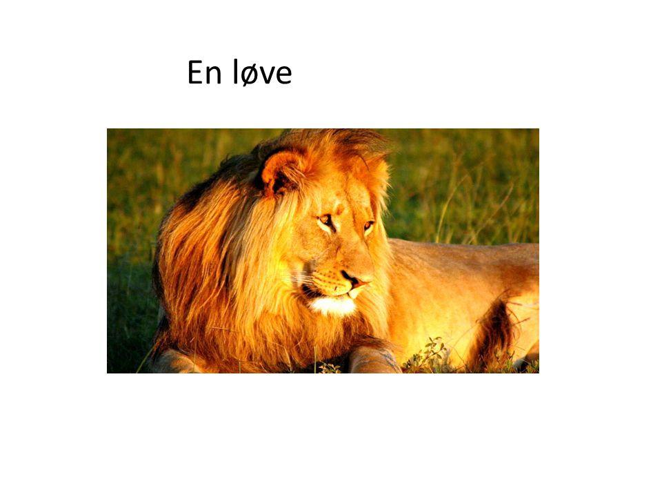 En løve
