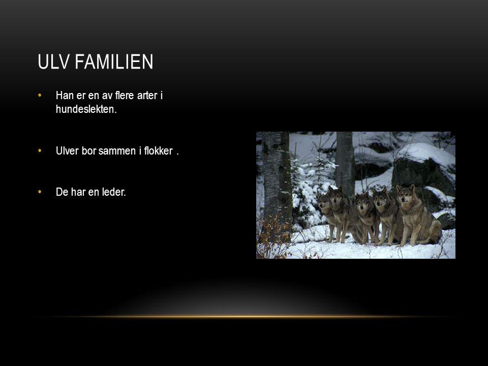 Han er en av flere arter i hundeslekten. Ulver bor sammen i flokker. De har en leder. ULV FAMILIEN