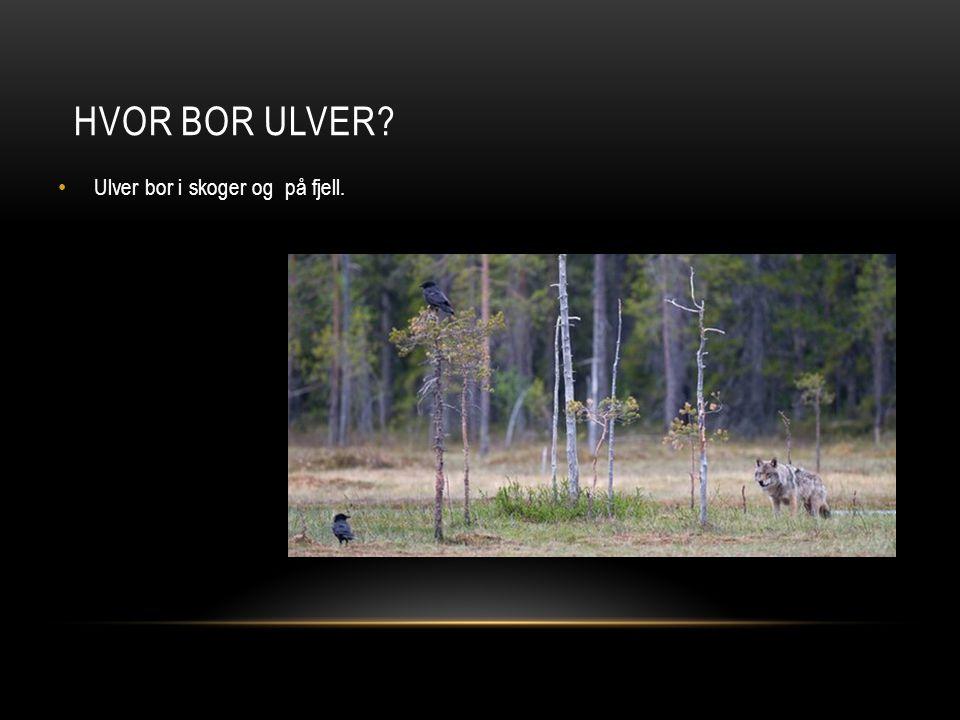 Ulver bor i skoger og på fjell. HVOR BOR ULVER?