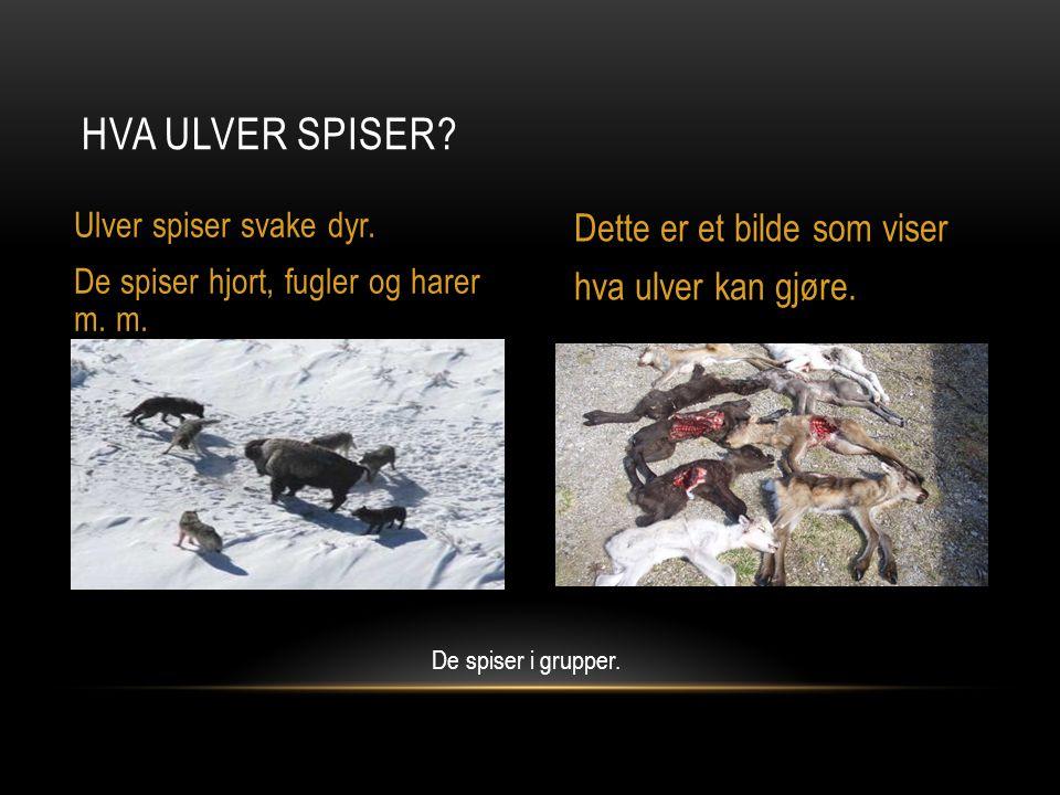 HVA ULVER SPISER.Ulver spiser svake dyr. De spiser hjort, fugler og harer m.
