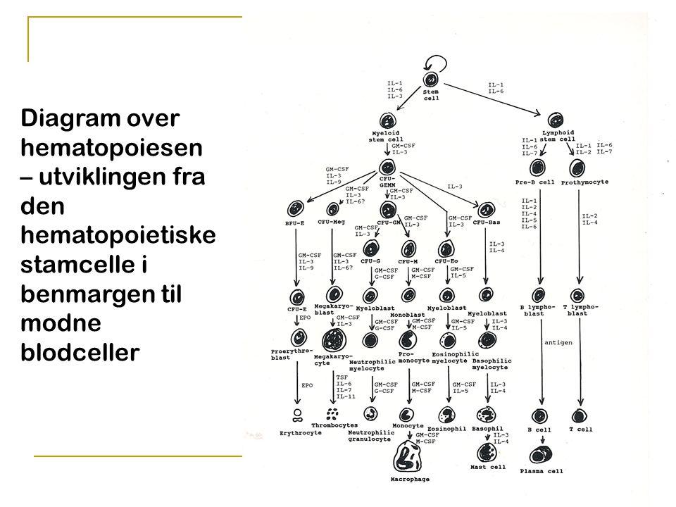 Lars Krogvold, Storefjell 2010 Diagram over hematopoiesen – utviklingen fra den hematopoietiske stamcelle i benmargen til modne blodceller