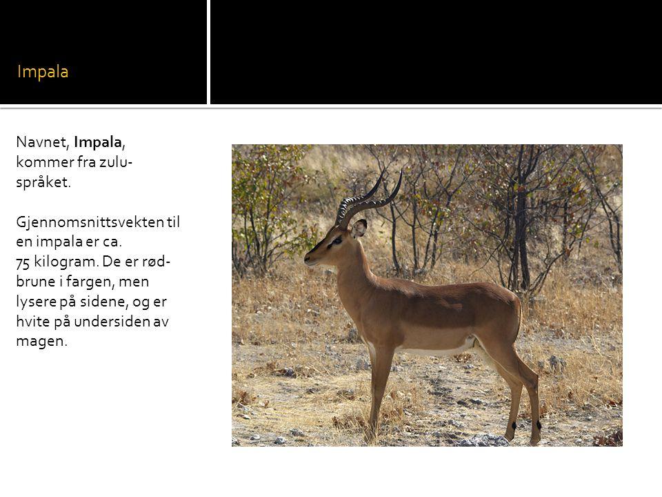 Impala Navnet, Impala, kommer fra zulu- språket.Gjennomsnittsvekten til en impala er ca.