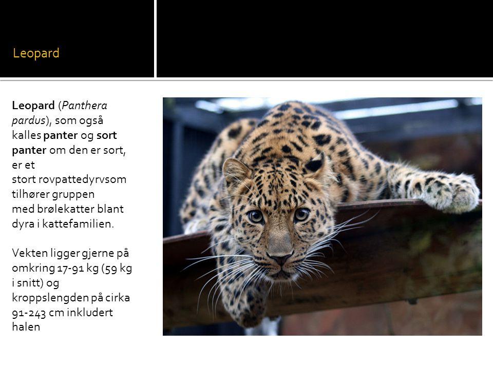 Leopard Leopard (Panthera pardus), som også kalles panter og sort panter om den er sort, er et stort rovpattedyrvsom tilhører gruppen med brølekatter blant dyra i kattefamilien.