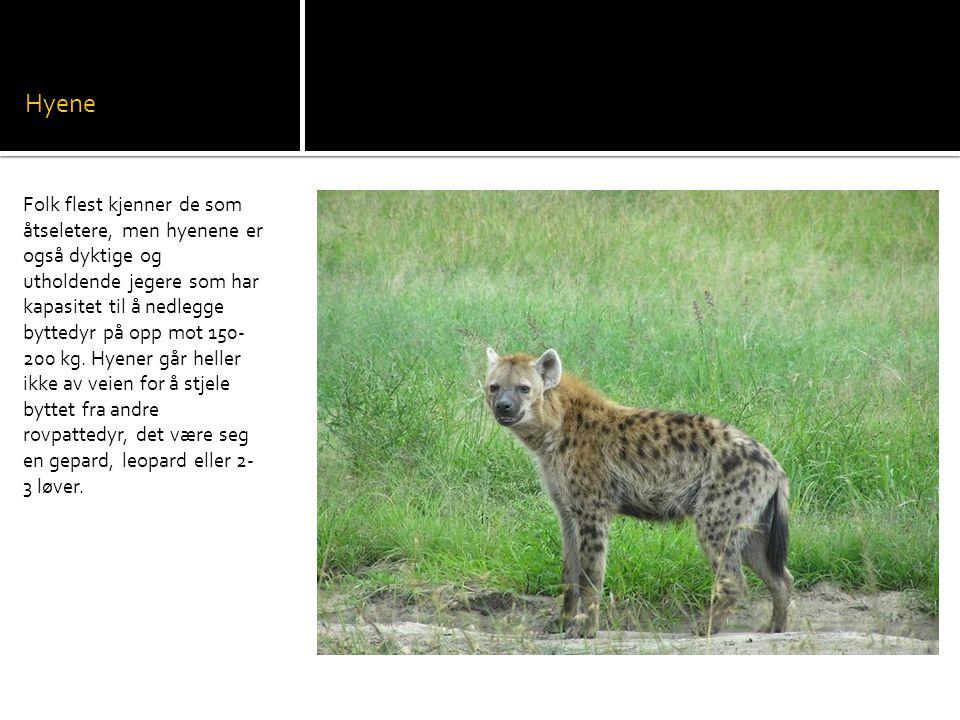 Hyene Folk flest kjenner de som åtseletere, men hyenene er også dyktige og utholdende jegere som har kapasitet til å nedlegge byttedyr på opp mot 150- 200 kg.