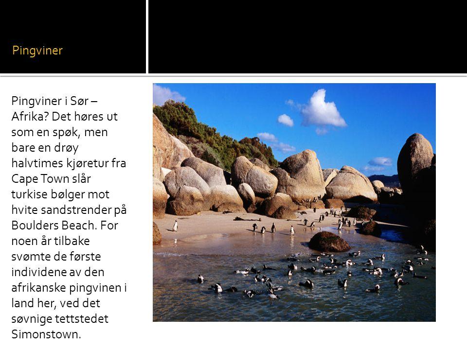 Pingviner Pingviner i Sør – Afrika.