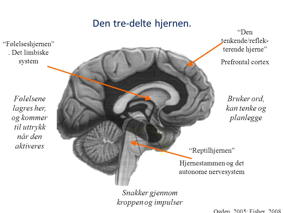 """Den tre-delte hjernen. """"Reptilhjernen"""" Hjernestammen og det autonome nervesystem """"Følelseshjernen"""". Det limbiske system """"Den tenkende/reflek- terende"""
