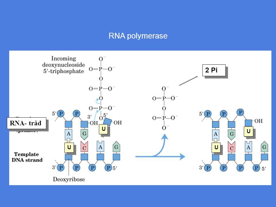 RNA polymerase U U U U U U U U RNA- tråd 2 Pi