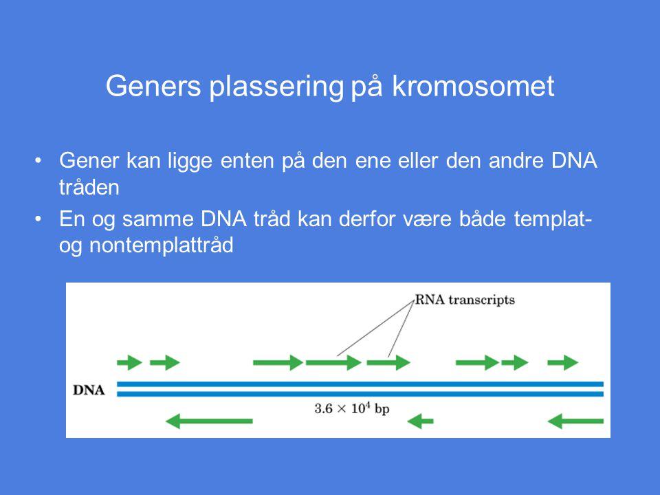 Geners plassering på kromosomet Gener kan ligge enten på den ene eller den andre DNA tråden En og samme DNA tråd kan derfor være både templat- og nont