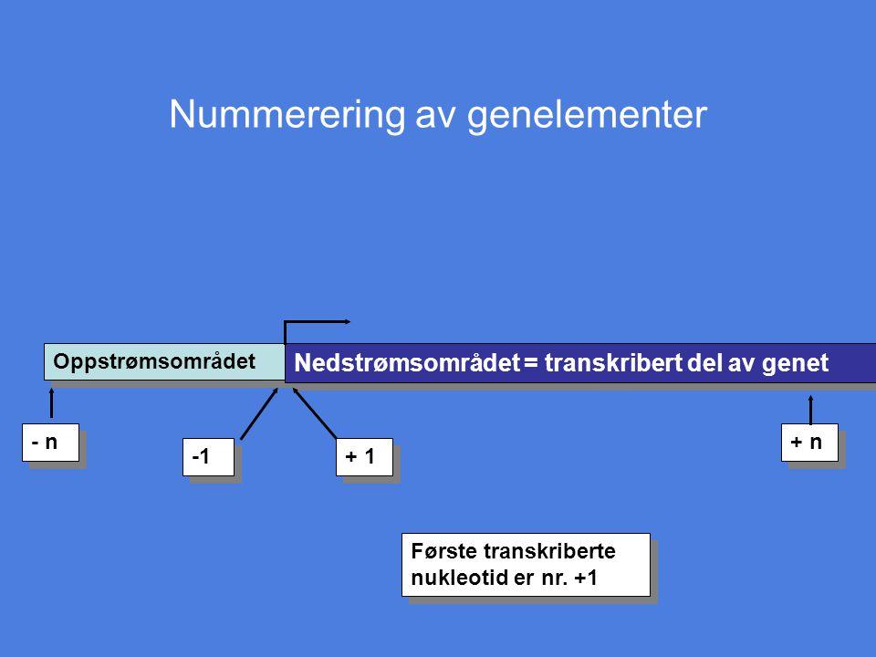 Nummerering av genelementer Oppstrømsområdet Nedstrømsområdet = transkribert del av genet + 1 - n + n Første transkriberte nukleotid er nr. +1