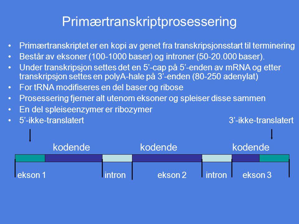 Primærtranskriptprosessering Primærtranskriptet er en kopi av genet fra transkripsjonsstart til terminering Består av eksoner (100-1000 baser) og intr