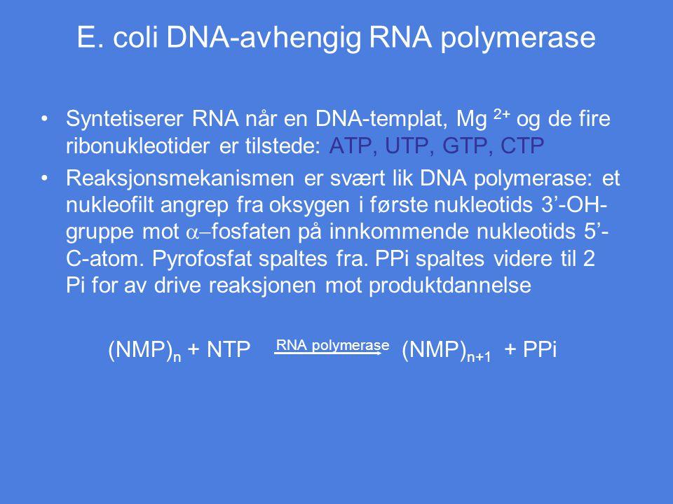 E. coli DNA-avhengig RNA polymerase Syntetiserer RNA når en DNA-templat, Mg 2+ og de fire ribonukleotider er tilstede: ATP, UTP, GTP, CTP Reaksjonsmek