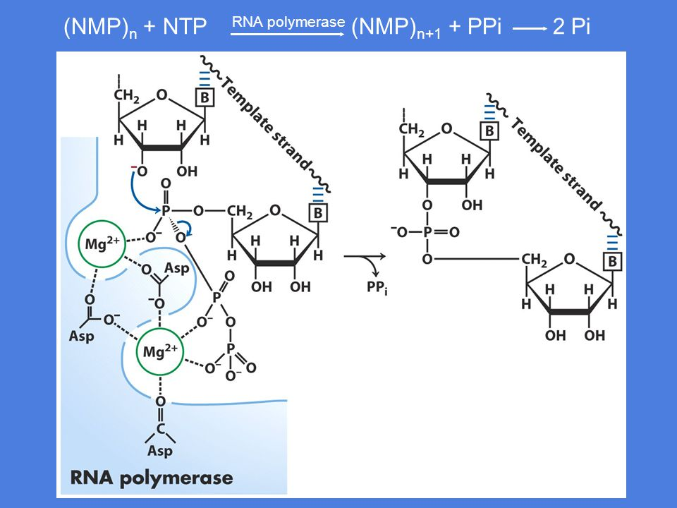  -uavhengig terminering Ved avslutningen av det området som koder for RNA finnes en polyadenin- sekvens.