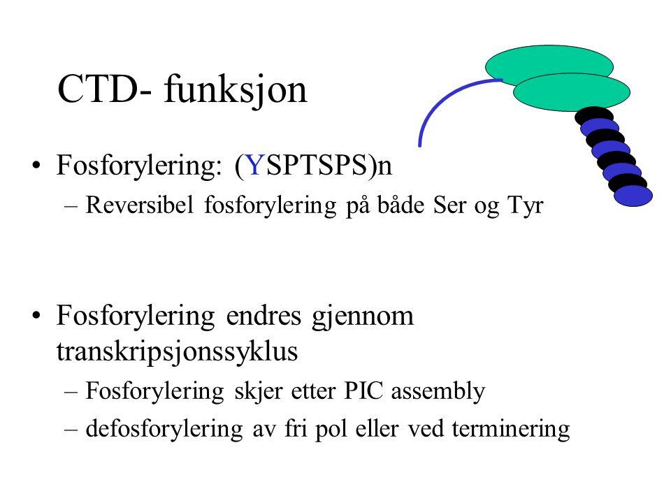 CTD- funksjon Fosforylering: (YSPTSPS)n –Reversibel fosforylering på både Ser og Tyr Fosforylering endres gjennom transkripsjonssyklus –Fosforylering