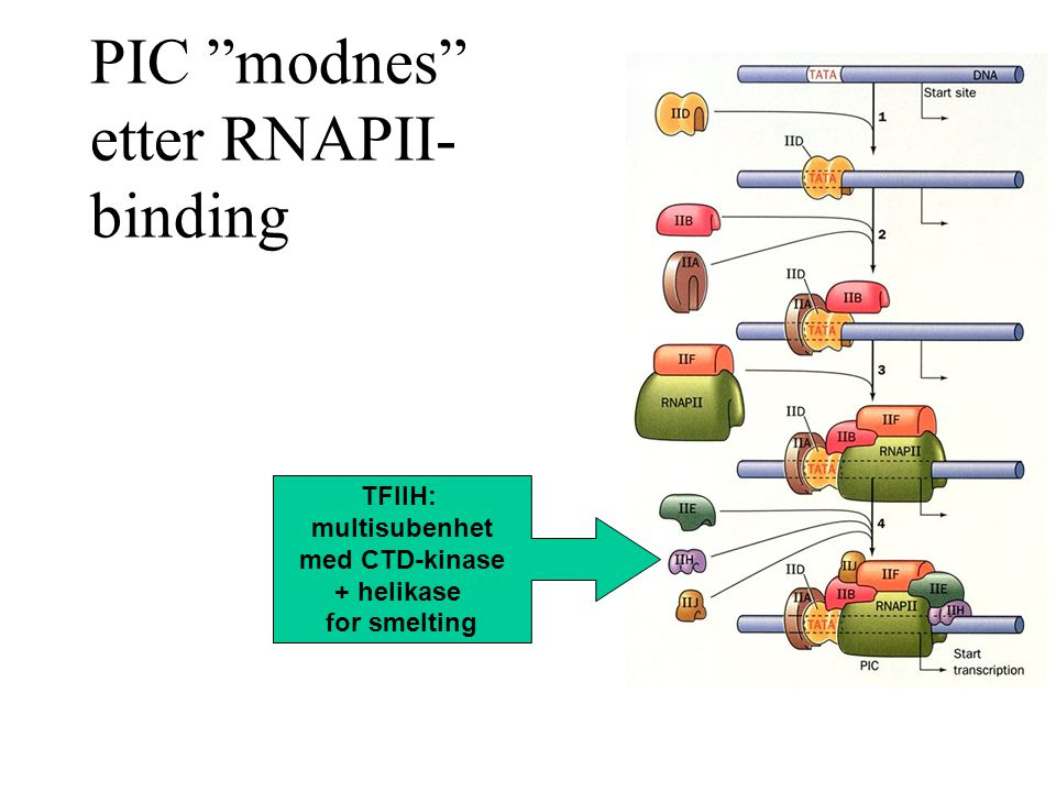 PIC modnes etter RNAPII- binding TFIIH: multisubenhet med CTD-kinase + helikase for smelting