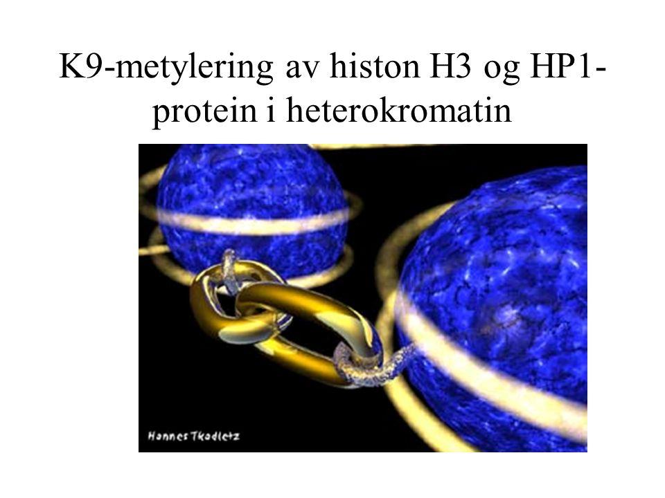 K9-metylering av histon H3 og HP1- protein i heterokromatin