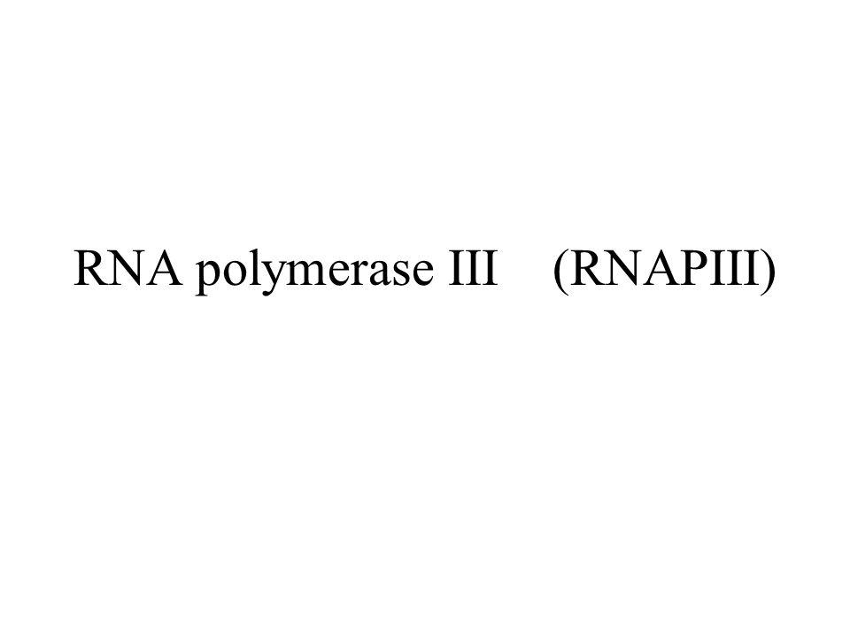 Klasse III-gener transkribert av RNA polymerase III RNAPIII syntetiserer et fåtall ulike RNA som er små, stabile og ikke-translaterte –tRNA, 5S rRNA, 7SL RNA, U6 snRNA ++