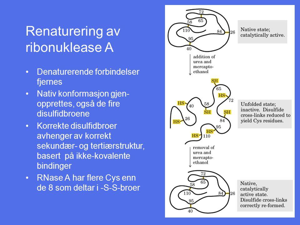 Renaturering av ribonuklease A Denaturerende forbindelser fjernes Nativ konformasjon gjen- opprettes, også de fire disulfidbroene Korrekte disulfidbro