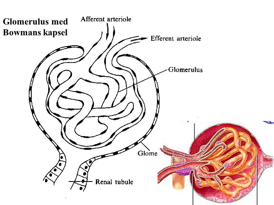 Glomerulus med Bowmans kapsel