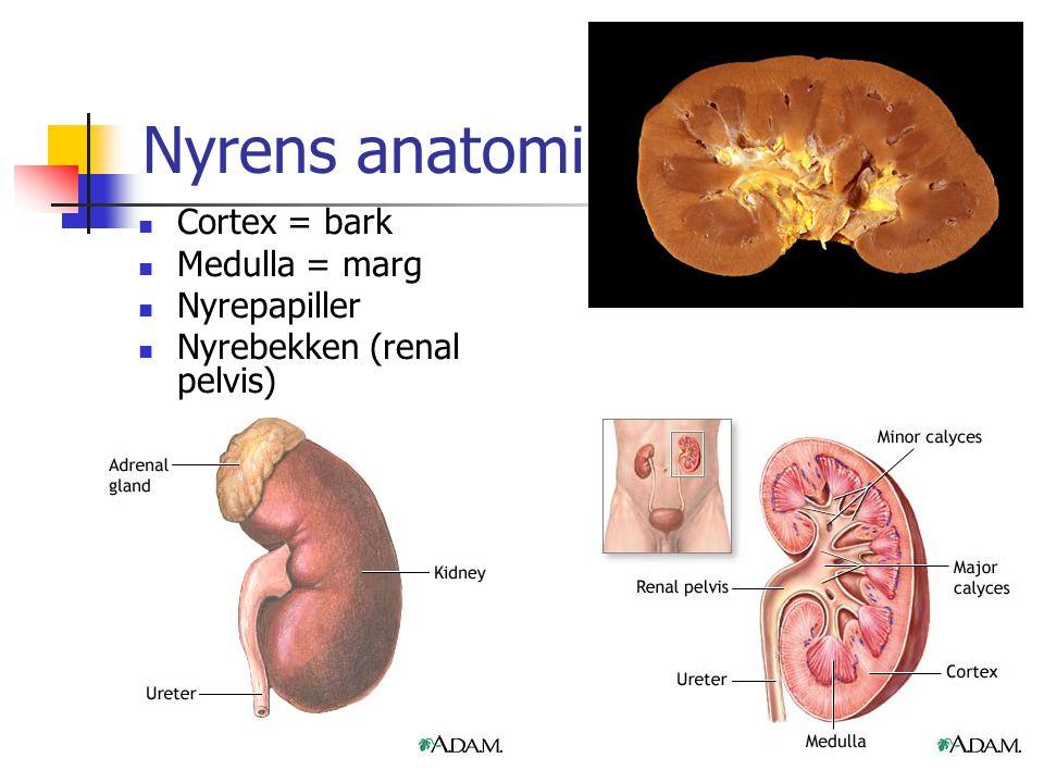 Nyrens anatomi Cortex = bark Medulla = marg Nyrepapiller Nyrebekken (renal pelvis)