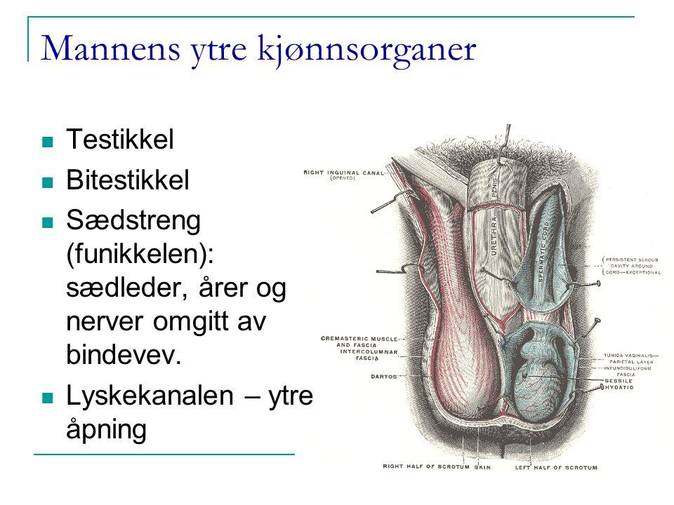 mannens anatomi