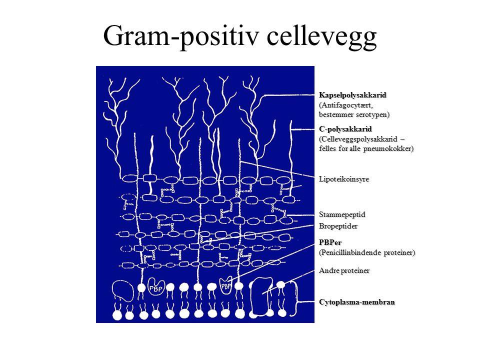 Gram-positiv cellevegg Kapselpolysakkarid(Antifagocytært, bestemmer serotypen) C-polysakkarid (Celleveggspolysakkarid – felles for alle pneumokokker) Lipoteikoinsyre Stammepeptid Bropeptider PBPer (Penicillinbindende proteiner) Andre proteiner Cytoplasma-membran