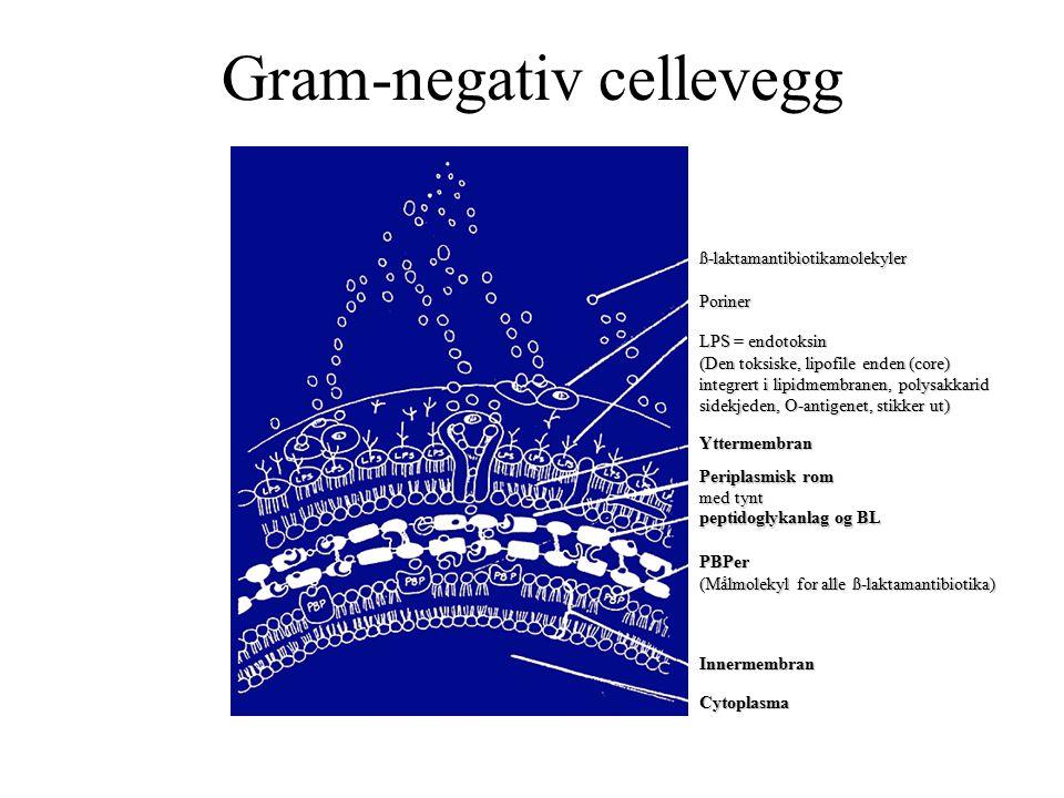 Gram-negativ cellevegg ß-laktamantibiotikamolekyler Poriner LPS = endotoksin (Den toksiske, lipofile enden (core) integrert i lipidmembranen, polysakkarid sidekjeden, O-antigenet, stikker ut) Yttermembran Periplasmisk rom med tynt peptidoglykanlag og BL PBPer (Målmolekyl for alle ß-laktamantibiotika) Innermembran Cytoplasma
