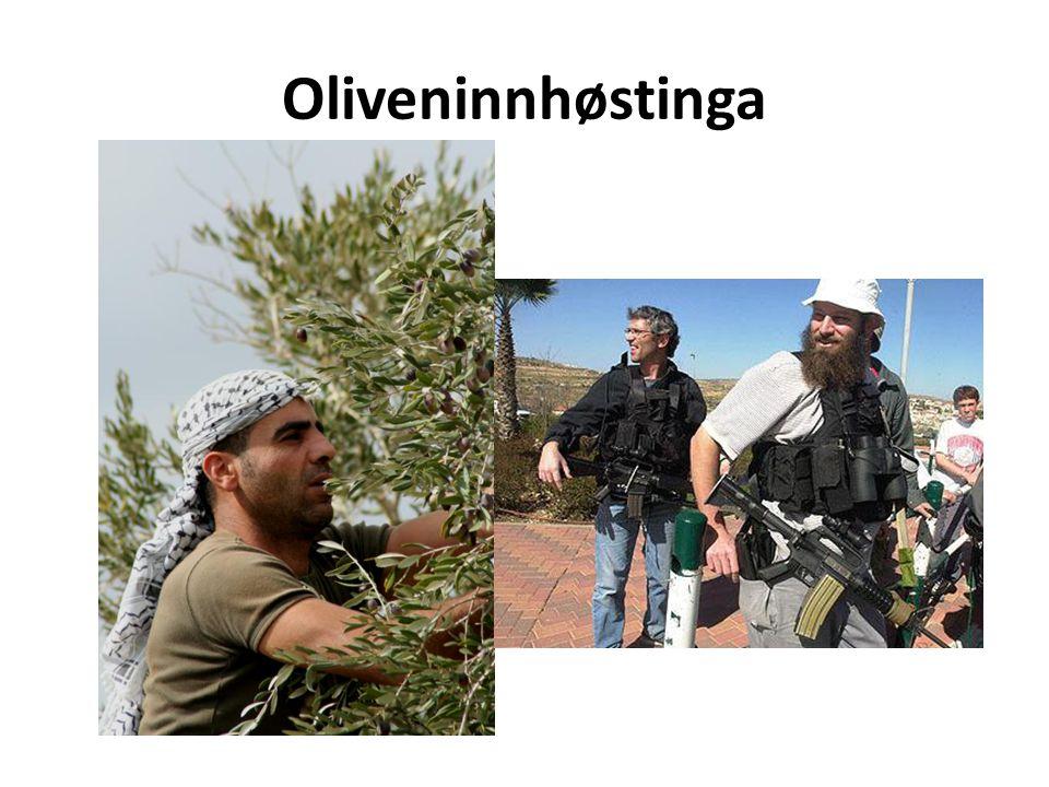 Oliveninnhøstinga