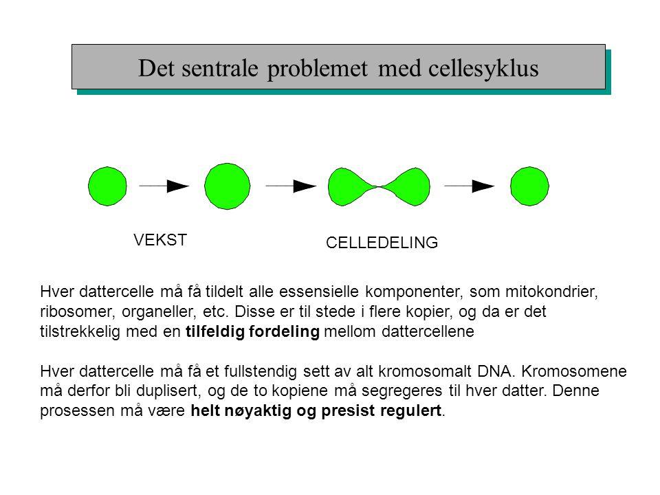 Det sentrale problemet med cellesyklus VEKST CELLEDELING Hver dattercelle må få tildelt alle essensielle komponenter, som mitokondrier, ribosomer, org