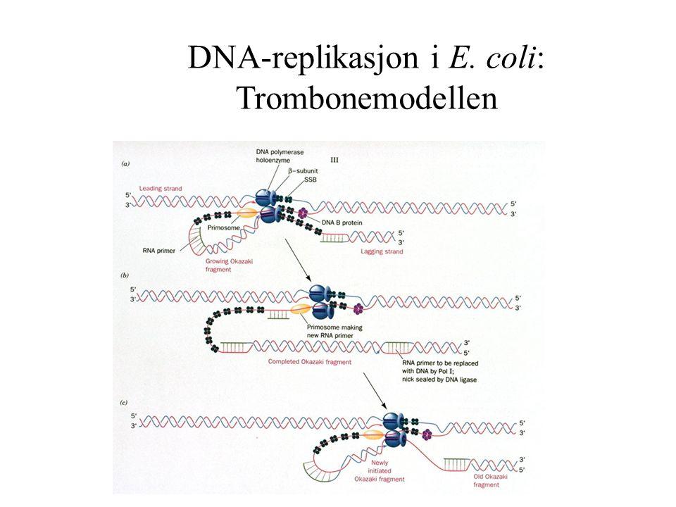 DNA-replikasjon i E. coli: Trombonemodellen