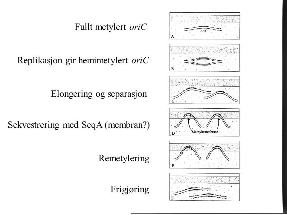 Fullt metylert oriC Replikasjon gir hemimetylert oriC Elongering og separasjon Sekvestrering med SeqA (membran?) Remetylering Frigjøring